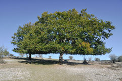 Holm oak, Urbasa range, Navarre Stock Photography