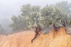 Holm oaks on clay embankment. Quercus ilex. Holm oaks in clay fill with fog in background Stock Photo
