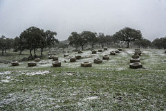 Holm oaks scenery with stones troughs where the cattle eats in spring Royalty Free Stock Photo