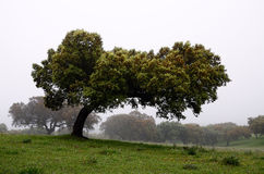 Holm oaks trees - horizontal Stock Photography