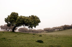Holm oaks trees Stock Images