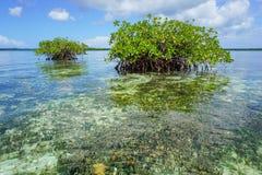 Holmar av mangroven i det karibiska havet för grunt vatten Royaltyfri Foto