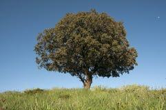 Holmek, Quercusilex royaltyfri foto
