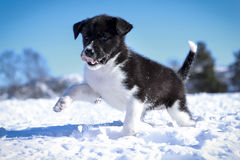 Holmen Puppy. An Alaskan Husky puppy setting its feet outside in the cold winter snow for the first time. Soon it discovers that being outside is the best thing Royalty Free Stock Photos