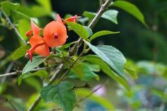 Free Holmskioldia Sanguinea Orange Flower Like Chinese Hat Stock Photography - 40635062