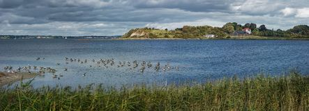 Holnis peninsula on the Flensburg Fjord with grey geese royalty free stock images