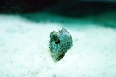 Holocanthus van Balloonfishdiodon zwemt langs een mariene ertsader stock foto's