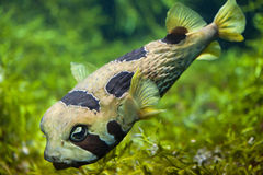 Holocanthus van Longspined porcupinefish Diodon royalty-vrije stock fotografie
