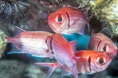 Holocentridae,squirrelfish Royalty Free Stock Photography