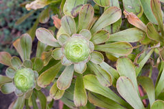 Holochrysum del Aeonium Fotos de archivo