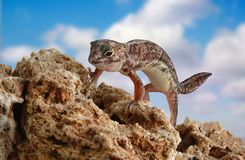 Holodactylus africanus. Gecko on the stone with clouds on the background Royalty Free Stock Photo