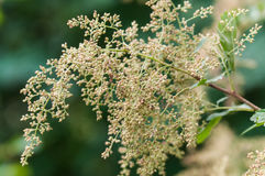 Holodiscus discolor. Commonly known as ocean spray, creambush or ironwood, is a shrub of western North America. It is common in the Pacific Northwest where it Royalty Free Stock Image