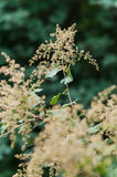 Holodiscus discolor. Commonly known as ocean spray, creambush or ironwood, is a shrub of western North America. It is common in the Pacific Northwest where it Stock Images