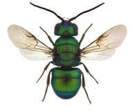 Holopyga fervida, a cuckoo wasp. From Europe royalty free stock image
