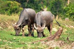 Młody bizon Zdjęcie Stock