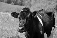 年轻Holstein 库存照片
