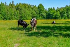 Holstein acobarda o gado no prado Fotografia de Stock