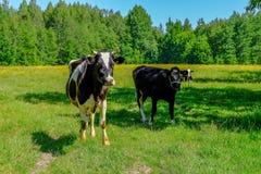 Holstein acobarda o gado no prado Foto de Stock Royalty Free