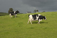 Holstein black and white cows Stock Images
