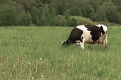 Holstein black and white spotted milk cow standing on a green rural pasture, dairy cattle grazing in the village.  royalty free stock image