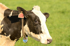 Holstein bydło Fotografia Royalty Free