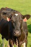 Holstein bydło Obrazy Royalty Free