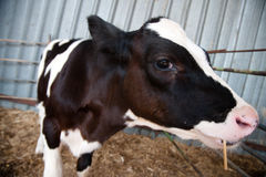 Holstein Calf Royalty Free Stock Photos