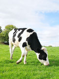 Holstein Calf. Grazing in a Green Field - Farm Animal Image with Agricultural Theme Royalty Free Stock Photos