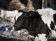 Holstein Calf Close-up. A young Holstein on a farm in winter near Waitsfield, Vermont Royalty Free Stock Images