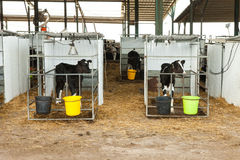 Holstein Calf in a pen Royalty Free Stock Images