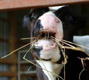 Holstein calf with wide open mouth eating hay royalty free stock photography