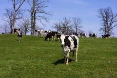 Holstein Cattle  822043