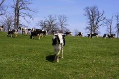 Holstein Cattle  822099