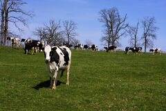 Holstein Cattle  822044