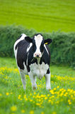 Holstein cow Stock Images