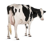 Holstein cow, 5 years old, standing Stock Images