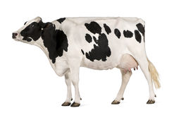 Holstein cow, 5 years old, standing Royalty Free Stock Photography
