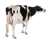 Holstein cow, 5 years old, standing