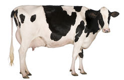 Holstein cow, 5 years old, standing Royalty Free Stock Photos