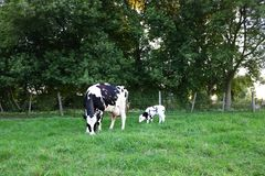 Free Holstein Cow And Calf In The Field At Twilight Royalty Free Stock Image - 136035466