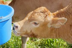 Holstein cow drinking Stock Images
