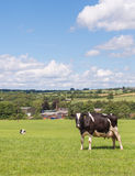Holstein cow in field Royalty Free Stock Images