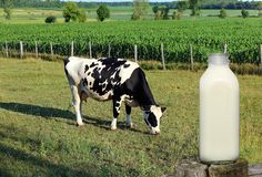Holstein cow grazing behind closeup of a bottle full of milk royalty free stock images