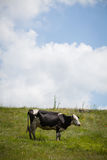 Holstein cow grazing Royalty Free Stock Photos