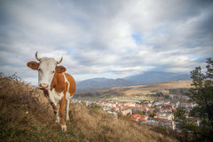 Holstein cow grazing Royalty Free Stock Photos