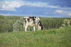 Holstein cow grazing Royalty Free Stock Photo
