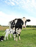Newborn Holstein calf snuggles under mom stock photography