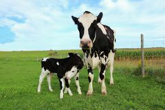 Holstein cow with her newborn twin calves in the field stock images
