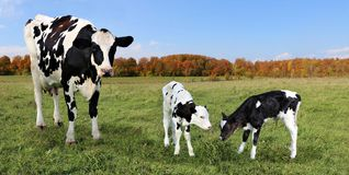 Mother Holstein cow with twins in the autumn grassland stock photo