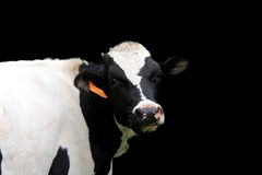 Holstein Cow. A nice Holstein cow isolated on a black background Royalty Free Stock Photos